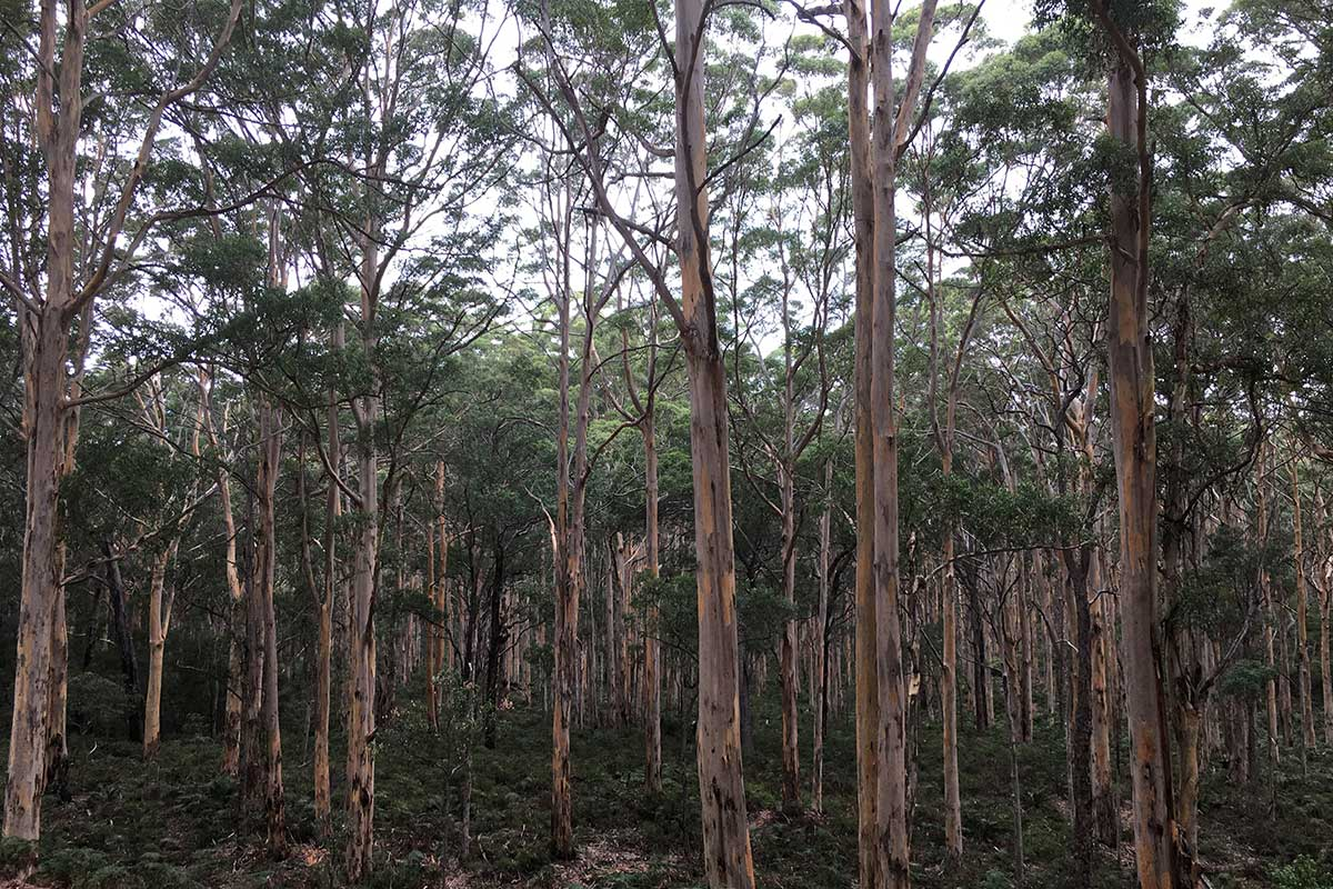 Margaret River activities, Boranup Karri Forest